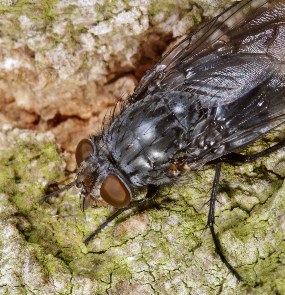 Echte Fliege (Muscidae)