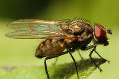 Echte Fliege (Muscidae) (I)