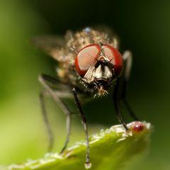 Echte Fliege (Muscidae) (II)