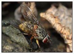 """Echte Fliege"" Phaonia viarum"