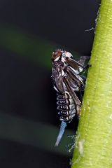 Echte Käferzikade, Nymphe mit Wachsschweif (Issus coleoptratus) - Cigale bossue à l'état de nymphe!