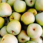 Echte oder unechte Apfel ?
