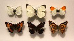 echte Schmetterlingspräperate