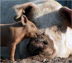 Echte Schweineliebe