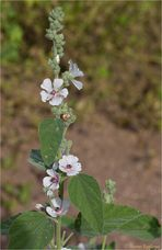 Echter Eibisch (Althaea officinalis) oder Arznei-Eibisch