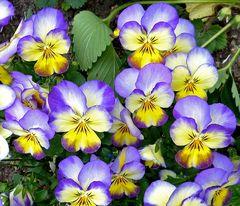 Echtes Stiefmütterchen (Viola tricolor)