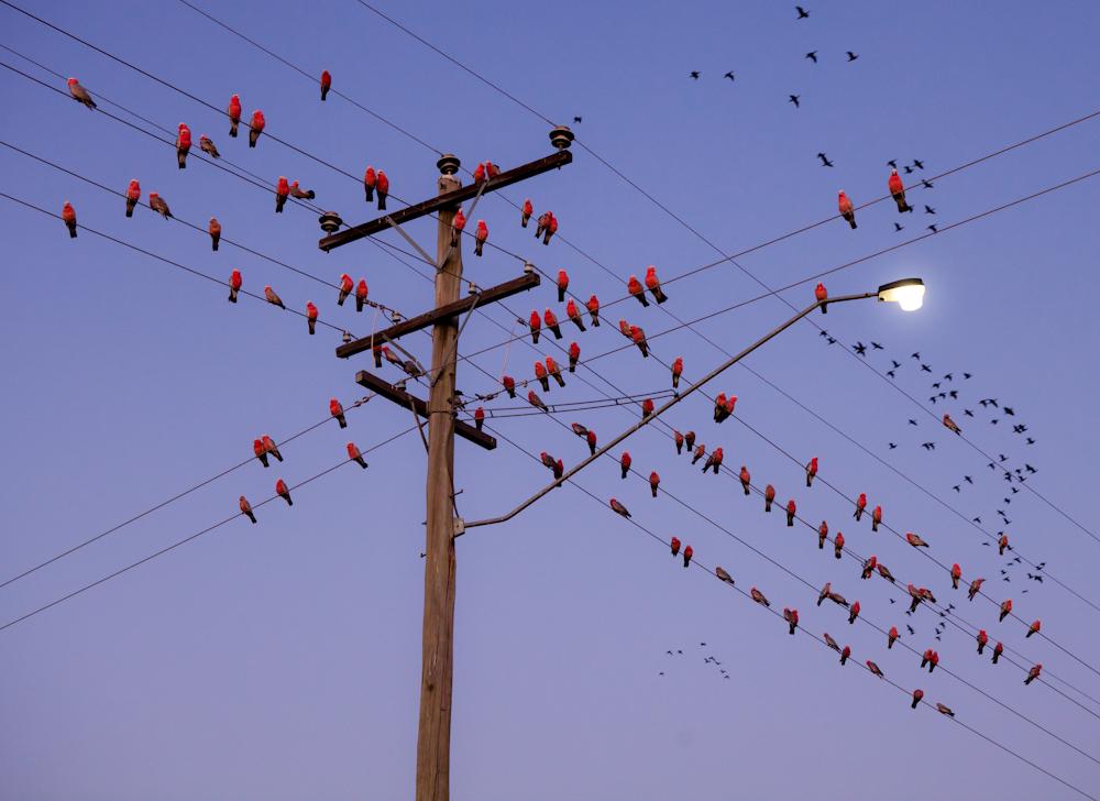 Eclectus Papageien bei Sonnenaufgang