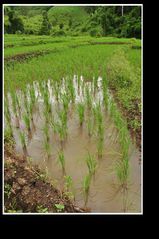 Ecoute pousser le riz
