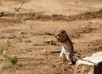 Ecureuil (Squirrel) - Samburu / Kenya - Grignotage ! (Recadré suite com avisé de JB)
