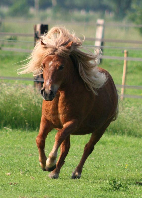 Edeles Pony