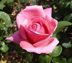 Edelrose in rosa