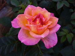 Rose•Tulpe•Dahlie