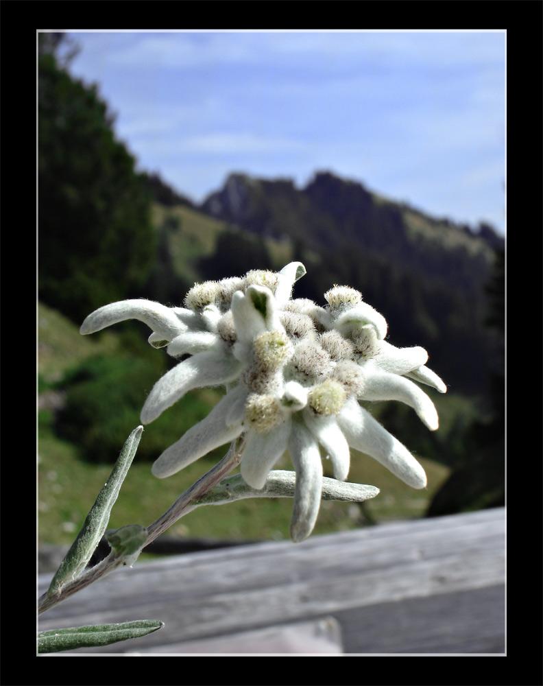 Edelweiss - für Bergfans!