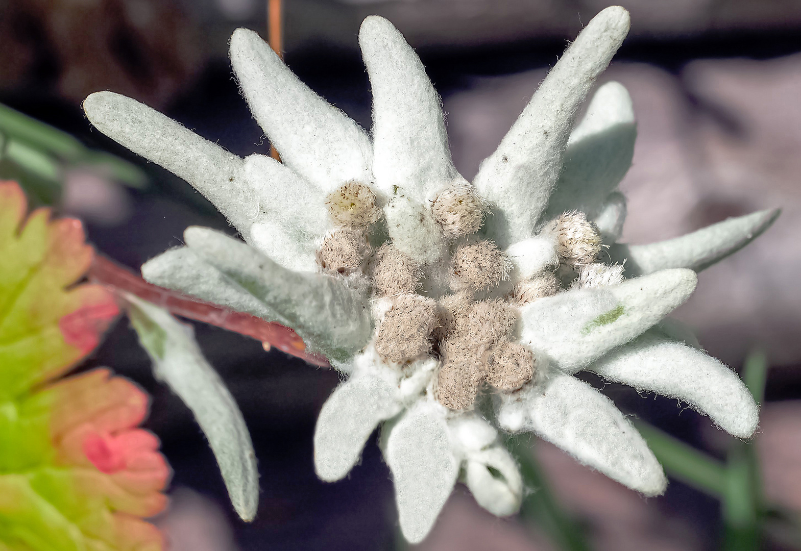 Edelweiss - Grand Puy
