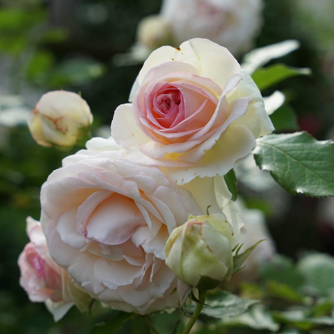 Eden - die Rose auf Erden