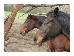 Edle Pferde