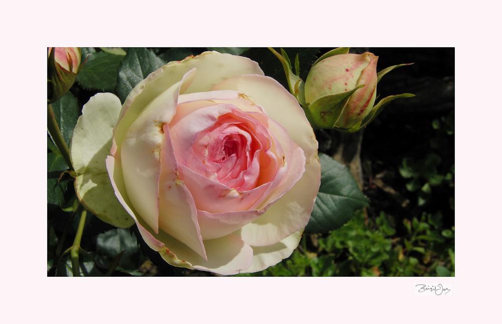 Edle Rose