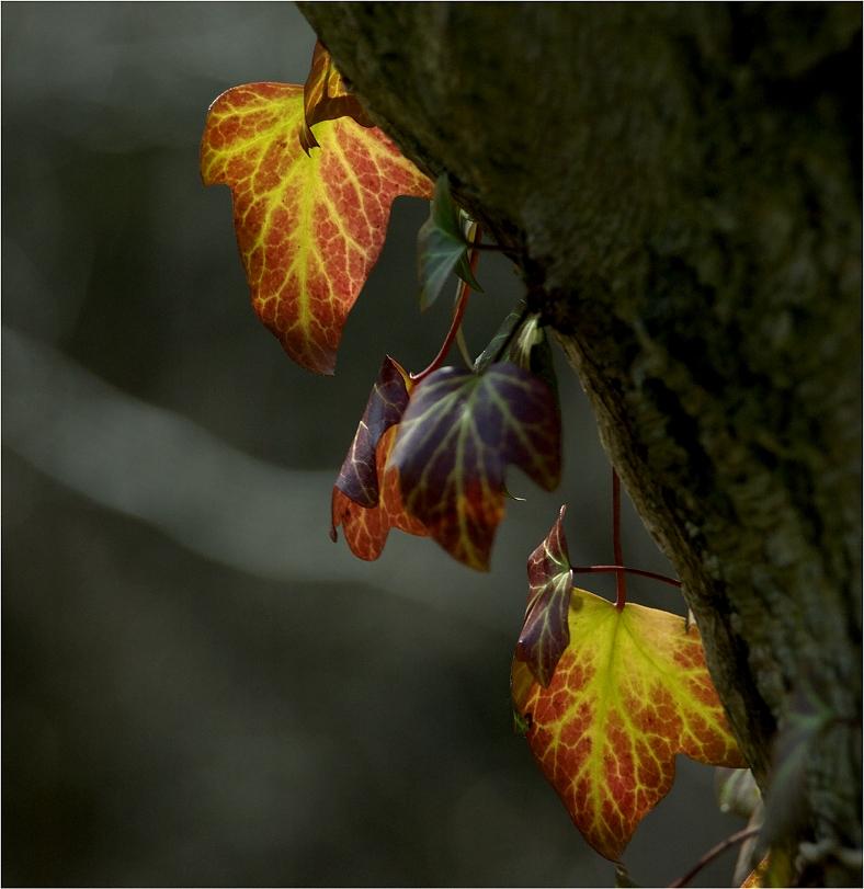 Efeu - farbig