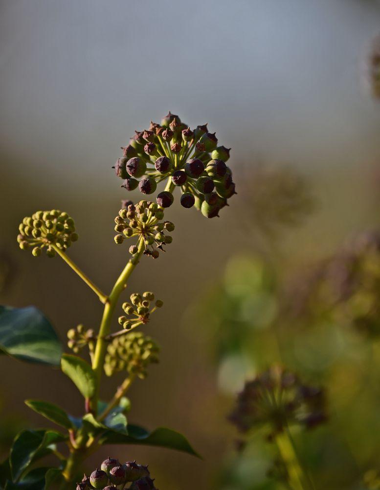 Efeu in der Blüte