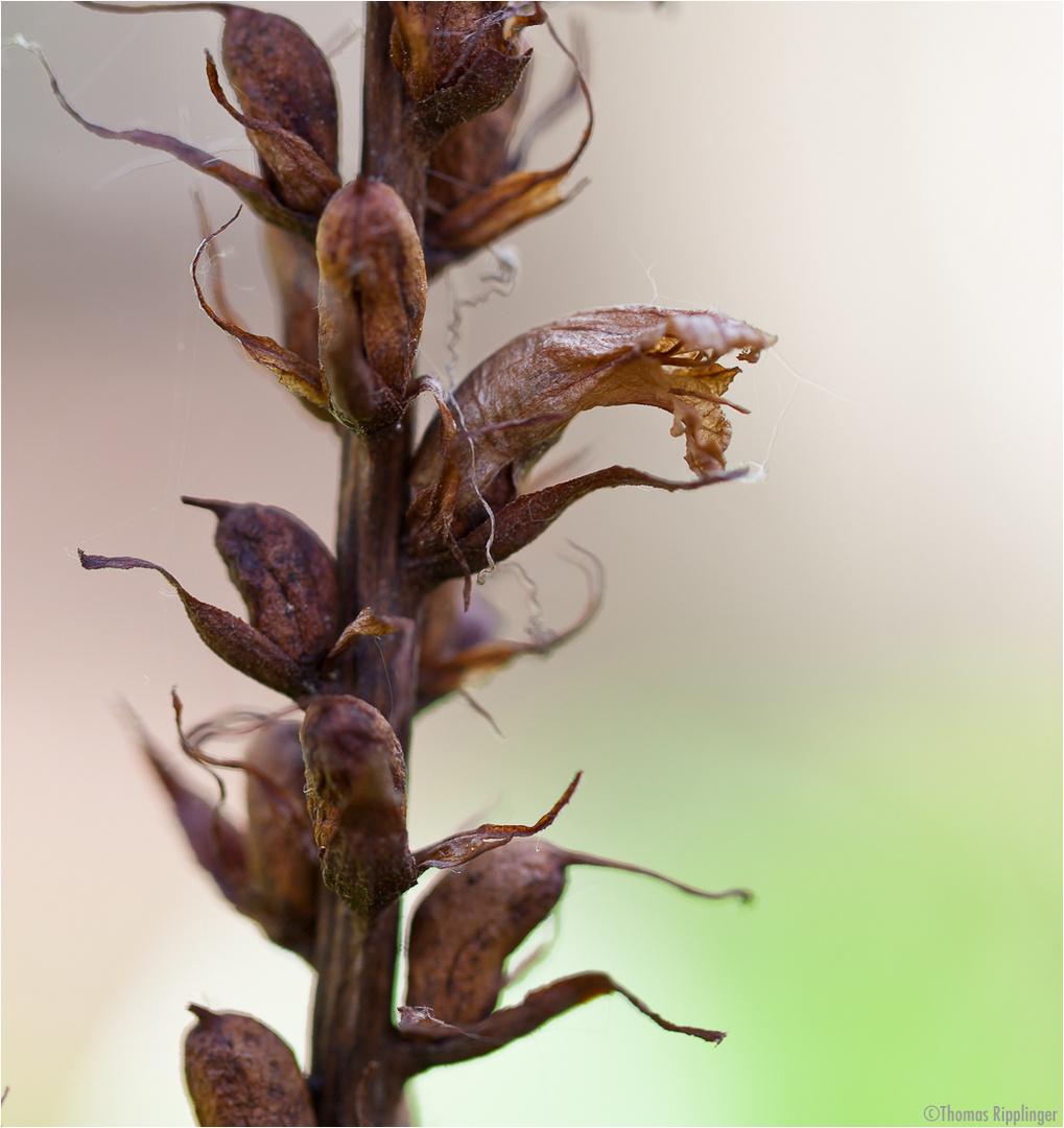 Efeu-Sommerwurz (Orobanche hederae).