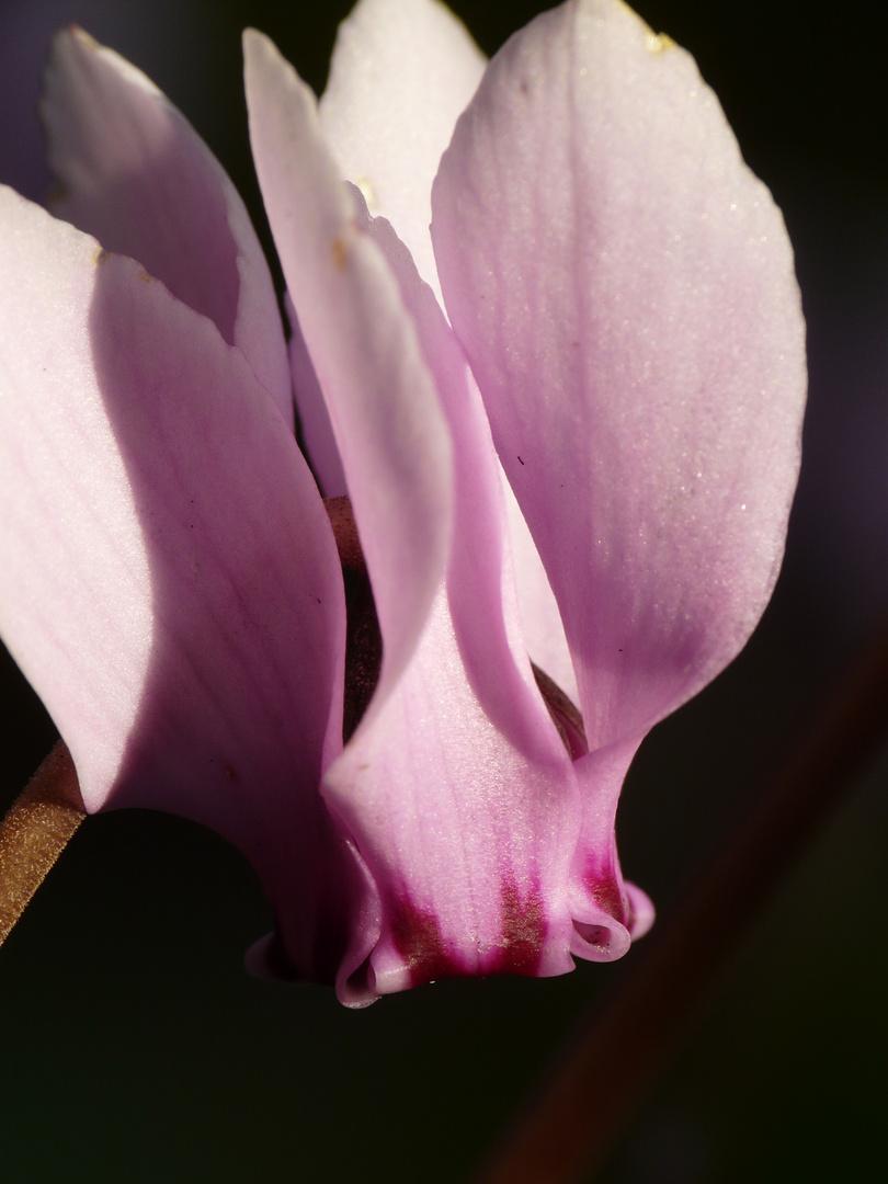 Efeublättriges Alpenveilchen, blüht rosa bis weiß im Herbst 8 - 10 cm