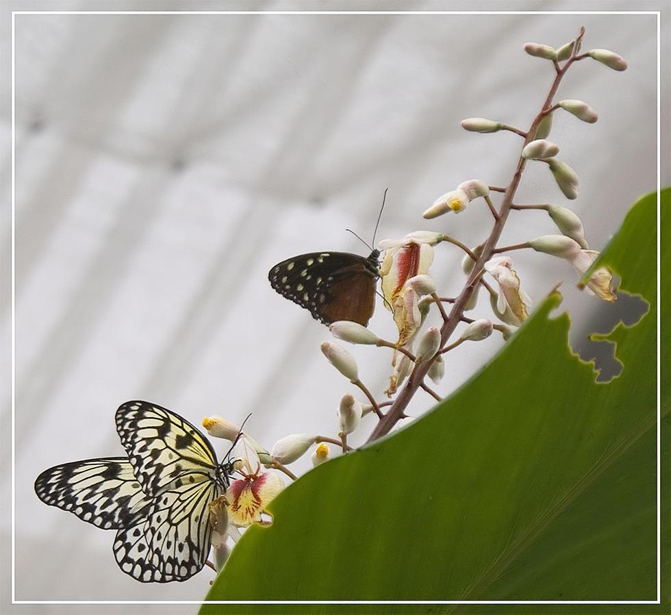Ega - Schmetterling - 2 - Heliconius hecale / Idea leuconoe