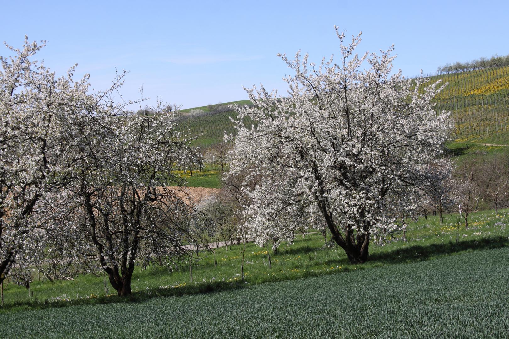 Eggener Tal - Kirschblüte im Markgräflerland