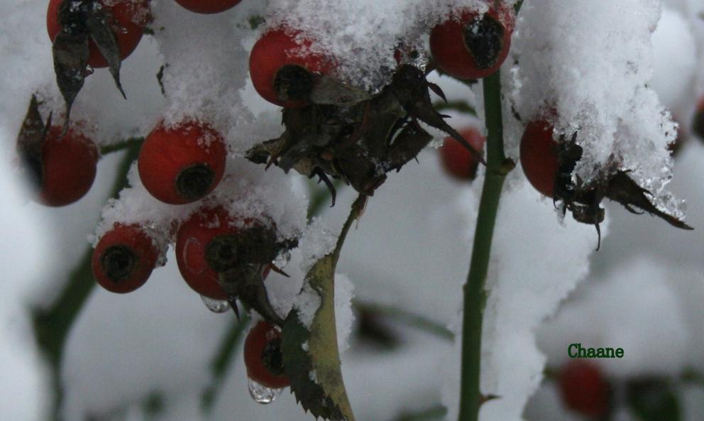 églantier sous la neige