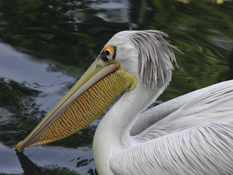 Egon-Bahr-Pelikan - gibt's sowas eigentlich ??