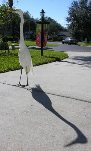 Egret coming to visit