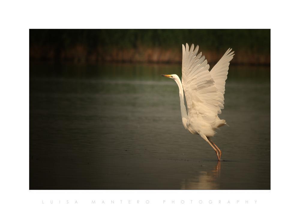 - Egretta alba -