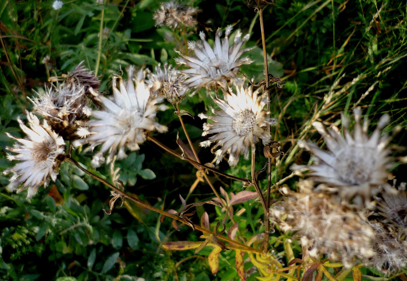 Ehemalige Flockenblumen