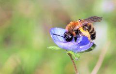 Ehrenpreis mit Bienchen