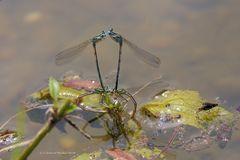 Eiablage der Blauen Federlibelle (Platycnemis pennipes)