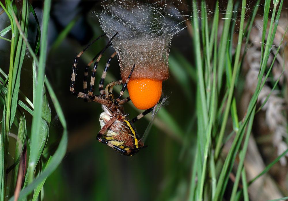 Eiablage der Wespenspinne