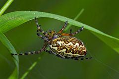 Eichblatt-Radspinne (Aculepeira ceropegia) - Une araignée dans l'herbe...