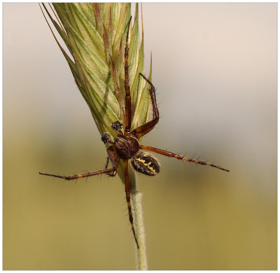 Eichblatt-Radspinne oder Eichblatt-Kreuzspinne