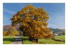 Eiche im Herbstkleid