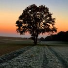 Eiche im Morgenrot