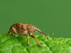 Eichelbohrer (Curculio glandium)