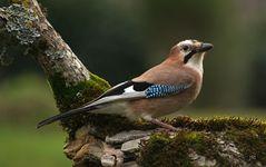 Eichelhäher - Der gescheite Waldvogel