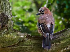 Eichelhäher - der Wächter des Waldes