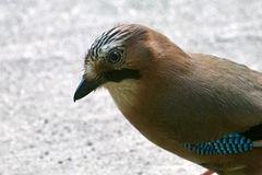 Eichelhäher (Garrulus glandarius)