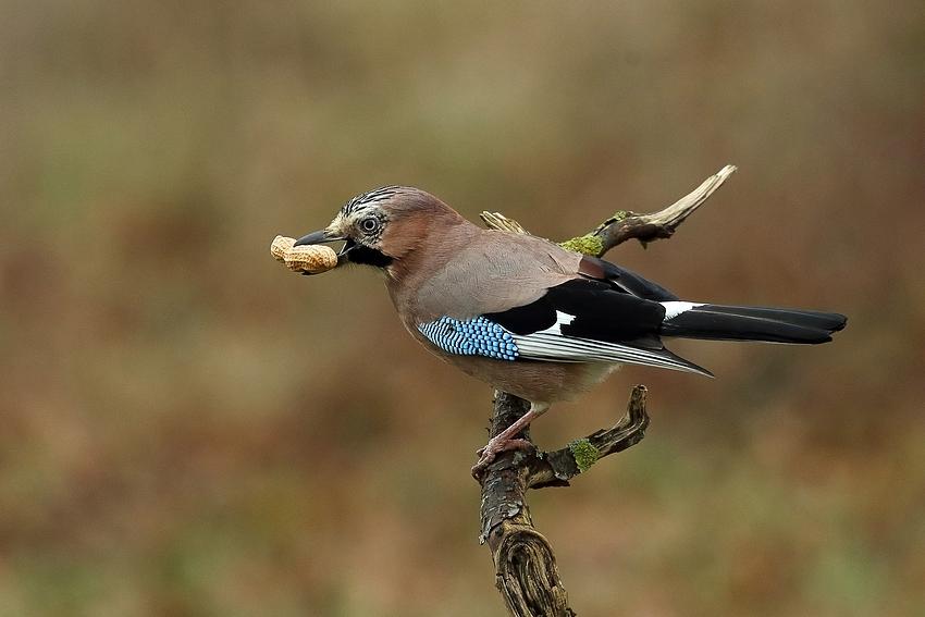 Eichelhäher Garrulus glandarius - ein gescheiter Waldvogel