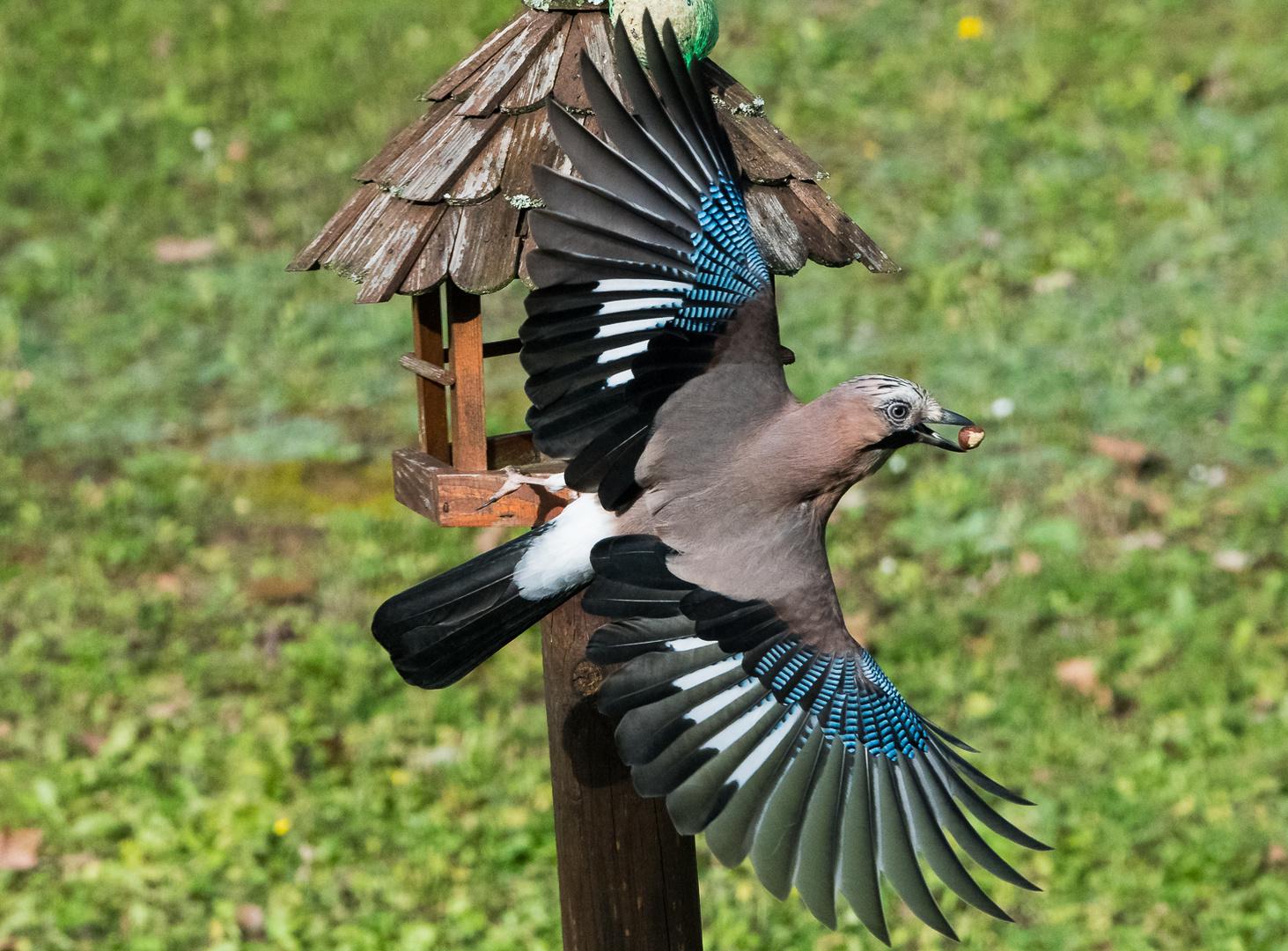 eichelhäher im flug mit nuss foto  bild  tiere wildlife