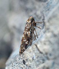 Eichen-Baumzirpe (Allygus communis) ? *