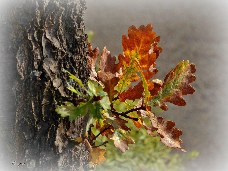 Eichenblätter......