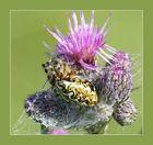 Eichenblattspinne (Aculepeira ceropegia)