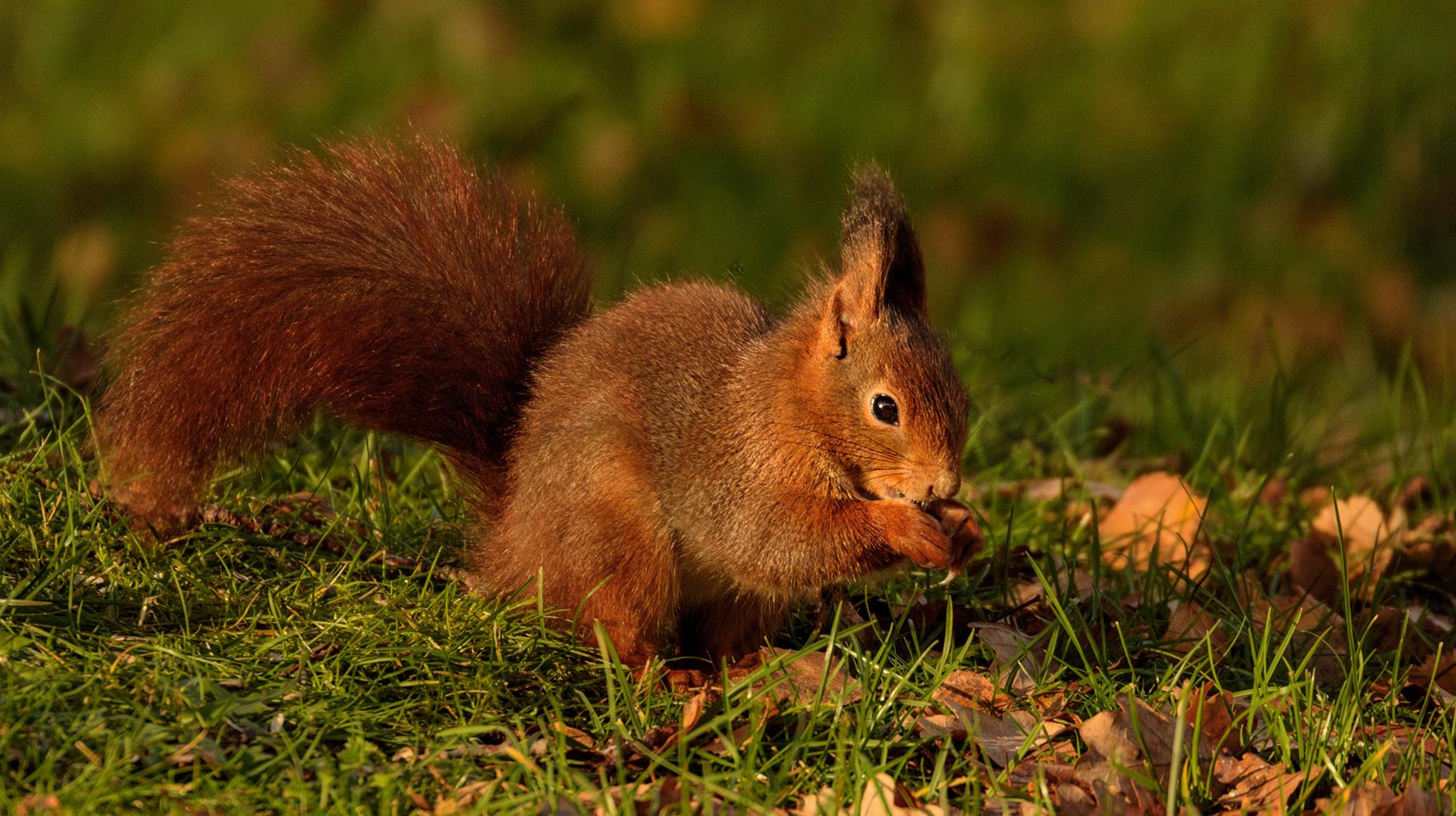 Eichhörnchen 007
