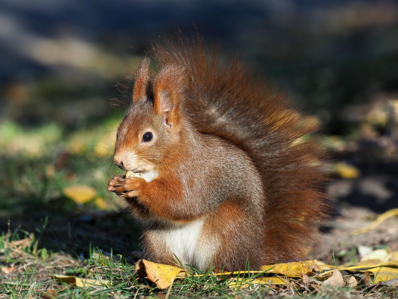 eichhörnchen foto & bild | tiere, wildlife, säugetiere